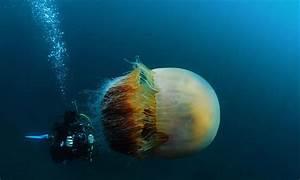 Giant Jellyfish (Cyanea capillata)