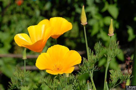 Garten Mohn Pflanzen by Kalifornischer Mohn Eschscholzia Californica Awl Ch