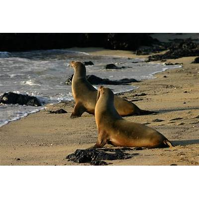 Galápagos sea lion - Wikidata