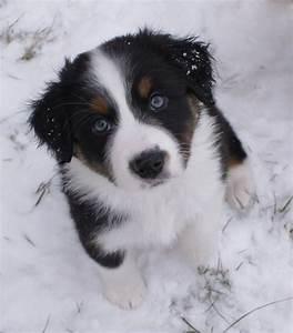 FloJo in the snow (black tri Imagineer Aussie puppy ...