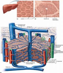 Anatomy Of The Accessory Organs