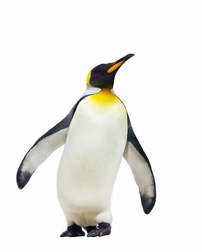 Transparent Penguin Penguins Backgrounds Pngio