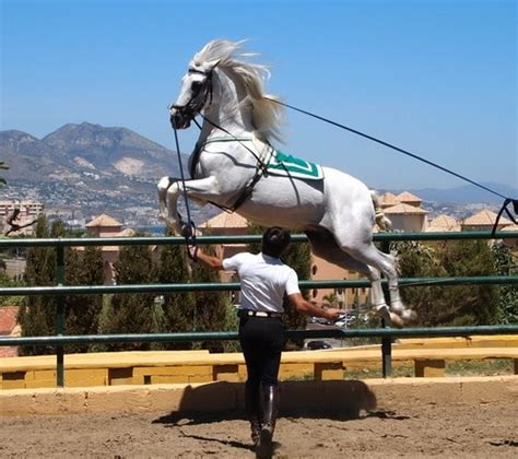 andalusian horse spanish pure history brief profile twimg todaysequine