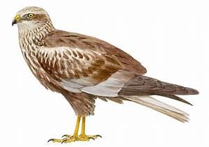 Aguilucho cenizo SEO/Birdlife