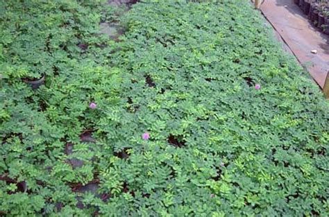 drought tolerant ground cover creeping thyme pink lemon scented flowers all summer
