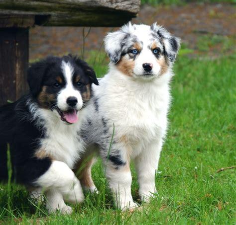Hunde Australian Shepherd Welpen