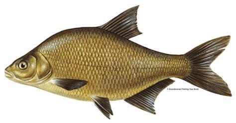 fishing 15 ikan farnham angling society species bream