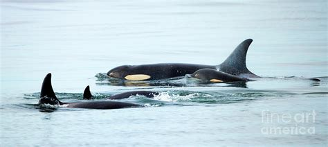 Orca Family Photo By Mike Dawson