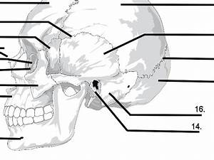 Blank Human Skull Anatomy