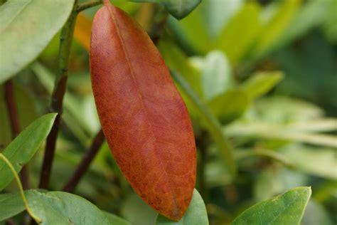 rhododendron braune flecken rhododendron bekommt gelbe bl 228 tter braune flecken