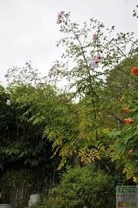 Quand Planter Des Dahlias : dahlia imperialis dahlia bambou conseils jardipartage ~ Nature-et-papiers.com Idées de Décoration