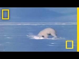 Polar Bear Attacks Seal - YouTube