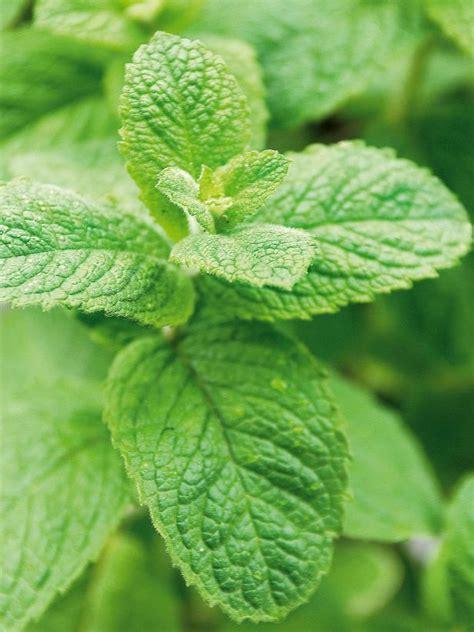 sun herbs herbs that grow in the shade hgtv