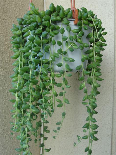 diy potting with senecio herreianus string of beads world of succulents