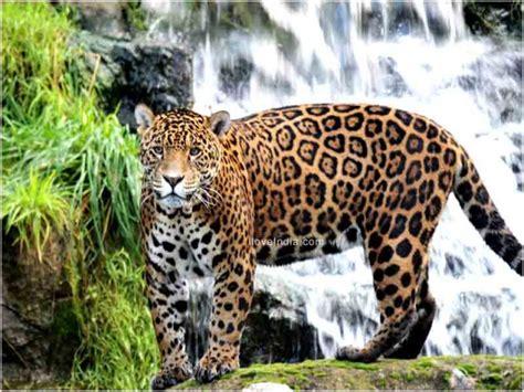amazing jaguar habitat facts about jaguar interesting amazing information on