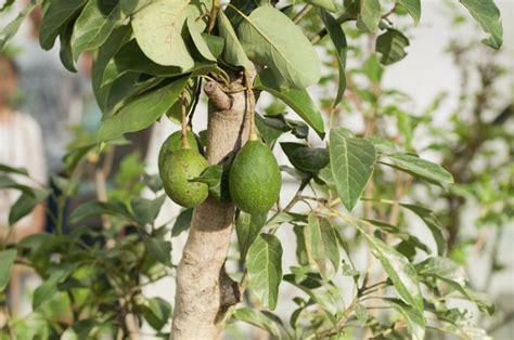 avocado tree zones