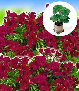 Hängepflanzen Für Balkonkästen : h nge geranien 39 villetta 39 kollekti h ngepflanzen bei ~ Michelbontemps.com Haus und Dekorationen