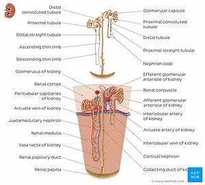Upper Pole Of Kidney Diagram