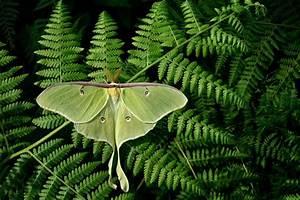 Huge Moths Trick Bats By Growing Long Wings