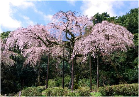 do weeping cherry trees produce cherries weeping plants drama in the landscape just fruits and exotics