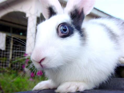 domestic rabbit hare jackrabbit cottontail eye color
