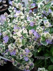 variegated creeping glechoma hederacea 39 variegata