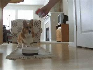 Excited Corgi Gif