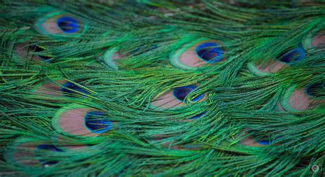 peacock feathers background high quality  backgrounds