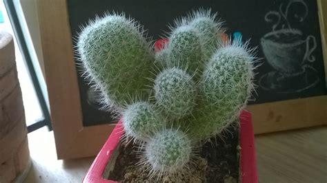 แคคตัส (Cactus) | ดอกไม้