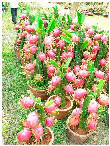 menanam menanam teknik budidaya tanaman