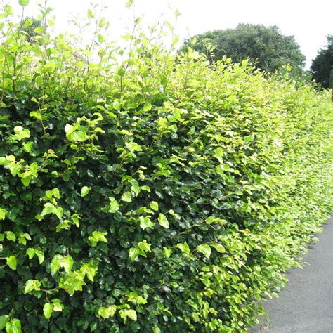 hedge plants fagus sylvatica hedging buy green beech hedging