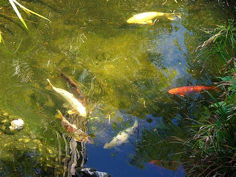 pond background koi fish background wallpapersafari