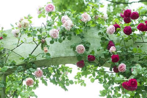 roses where to plant when to prune home wizards