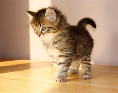 siberian cat kitten nat geo adventure