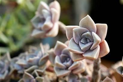 Macro Cactus Petals Succulent Purple Plants Stone