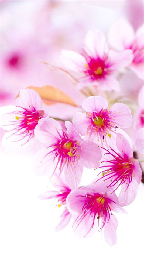 Cherry Blossom Animated Wallpaper - cherry blossom iphone wallpaper hd flowers