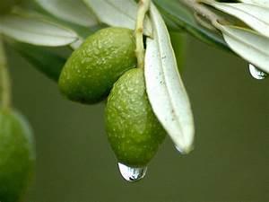 Olivenbaum Im Wohnzimmer überwintern : olivenbaum berwintern berwinterung winterfest winterhart ~ Markanthonyermac.com Haus und Dekorationen