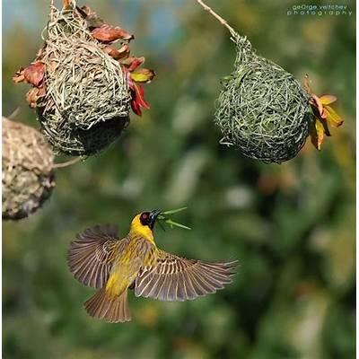 african masked weaverbirdsPinterest