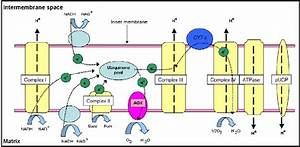 3  Organisation Of Electron Transport Chain Components And