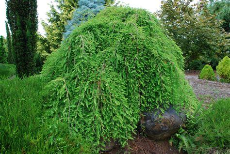 weeping bald cypress bayard cutting arboretum collection