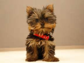 Does Border Terriers Shed yorkshire terriers the beautiful yorkie