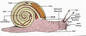 Anatomy Of A Snail  With Images