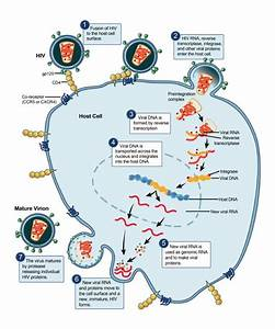 Hiv Aids Pathophysiology