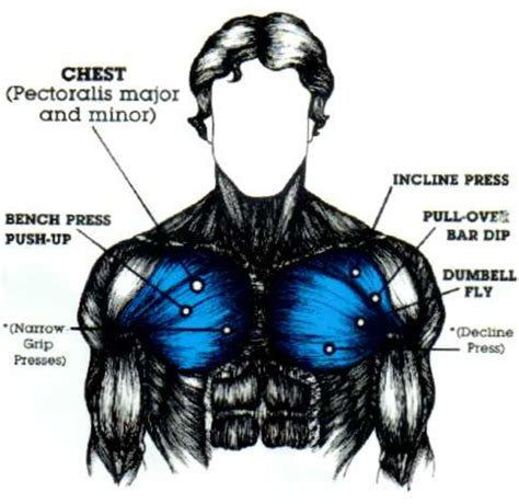 This is a table of skeletal muscles of the human anatomy. Developing Those Chest Muscles | CalorieBee