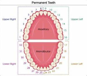Tooth Chart With Numbers And Letters What Are All Those Numbers And Letters My Ballston Spa