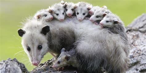Possum Images Les Opossums Pourraient Vous Sauver Des Morsures De Serpent