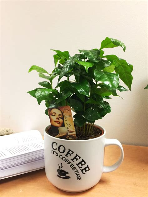 Coffea arabica, the coffee plant is an attractive houseplant and is commonly grown from the seeds. 1 Arabica Coffee Plant Tree in Pot Indoor house Garden ...