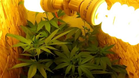 growing weed with fluorescent lights growing archives cannabistube tv