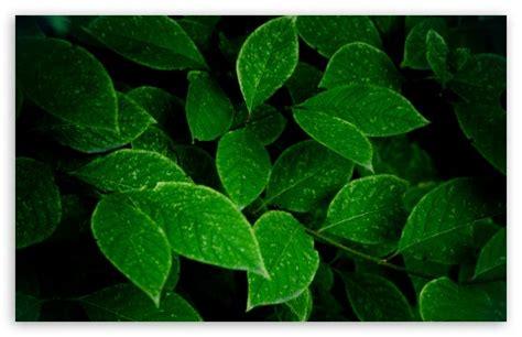 Green Leaves 4k Hd Desktop Wallpaper For 4k Ultra Hd Tv