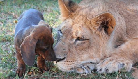 lion  wiener dog   friends